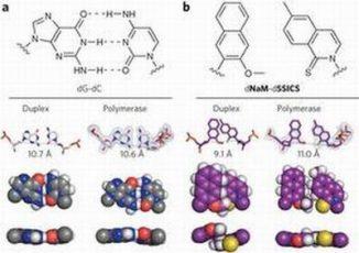 Die Strukturen des natürlichen Basenpaares dG-dC (a) und dNaM-d5SICS (b) (Scripps Research Institute / Floyd E. Romesberg / Nature)