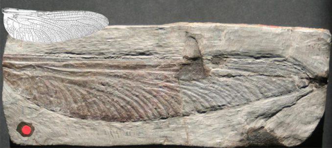 Dieser rund 300 Millionen Jahre alte fossile Insektenflügel (Stephanotypus schneideri) misst 19,5 Zentimeter. Der kleinere Flügel veranschaulicht die Flügellänge der größten Libelle in den letzten 65 Millionen Jahren (Photo by Wolfgang Zessin)