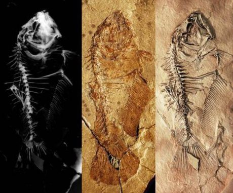 Skelett des primitiven Plattfisches Heteronectes: Röntgenbild (links), Skelett vor der Präparierung (Mitte) und nach der Präparierung (rechts). (Image by M. Friedman)