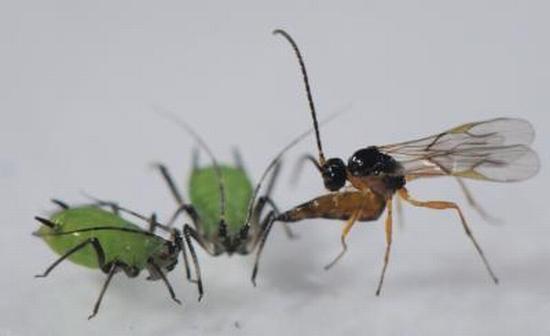 Eine parasitäre Wespe attackiert eine Blattlaus. (Photo by Dirk Sanders)