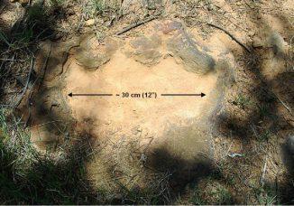 Dieser Abdruck stammt von dem rechten Hinterfuß eines Nodosaurus, der sich offenbar schnell bewegt haben muss, weil die Ferse nicht vollständig in den Schlamm eingedrückt ist. (Ray Stanford)