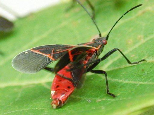 Ein Western Boxelder Käfer (Boisea rubrolineata). (Simon Fraser University)