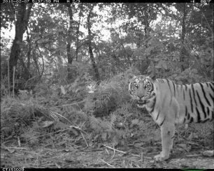 Tiger in Nepal übernehmen die Nachtschicht, um besser mit Menschen koexistieren zu können. (Photo courtesy of MSU)
