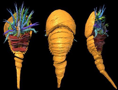 3D-Rekonstruktion von Dibasterium durgae. (PNAS / Derek E. G. Briggs / Yale University)