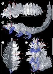 Die Insektennymphe Anebos phrixos. A: Dorsale Ansicht mit Flügelansätzen. B: Lateralansicht, man beachte die Ausrichtung von Kopf und Gliedmaßen. C: Ventralansicht von der Unterseite. D: Vorderansicht mit Kopf, Antennen und möglichen Kinnfühlern. (PloS One / Garwood et al., 2012 / Manchester X-ray Imaging Facility)