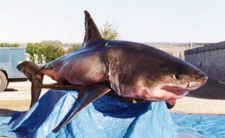 Dieser circa 770 Kilogramm schwere Weiße Hai wurde unbeabsichtigt gefangen und 2001 am Long Marine Lab seziert. (Photo by T. Stephens)