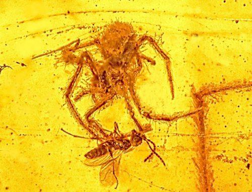 Der Angriff dieser circa 100 Millionen Jahre alten Spinne auf eine im Netz gefangene Wespe wurde nahezu perfekt in Bernstein konserviert. (Photo courtesy of Oregon State University)