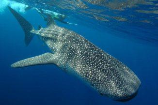Ein Walhai am Ningaroo Reef. (Photograph courtesy of M. Meekan, Australian Institute of Marine Science)