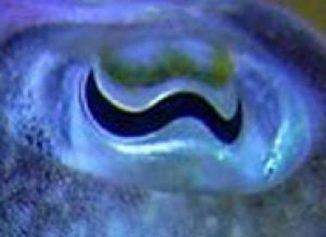 Das Auge eines Tintenfisches in einer Nahaufnahme. (University of Bristol)