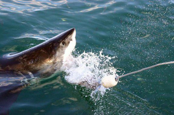 Haie könnten von einer Image-Kampagne profitieren. (Photo courtesy of Bret Muter)