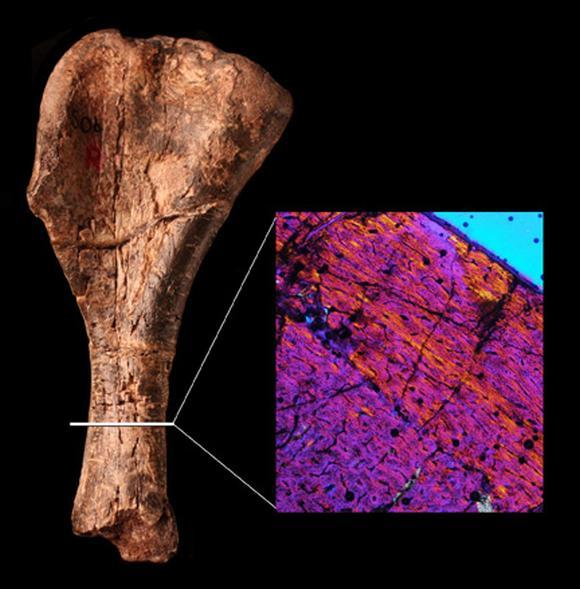 Das Knochengewebe des Oberarmknochens zeigt eine ungeordnete Struktur. ((c) Natural History Museum London)