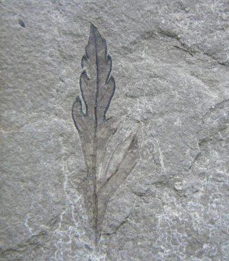 Das Fossil eines frühen Angiospermen aus Las Hoyas in Spanien. (Courtesy of Indiana University)