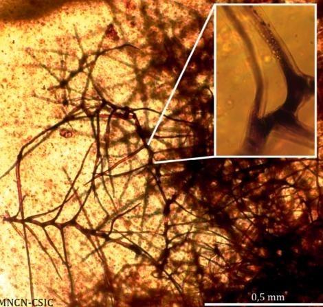 Die filamentähnlichen Pflanzenüberreste wurden als Trichome identifiziert. (Universitat de Barcelona)