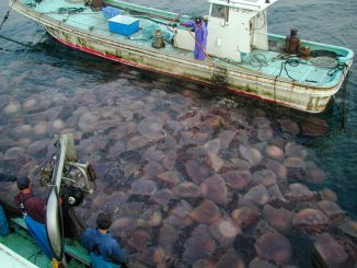 Riesenquallen der Art Nemopilema nomurai in Japan. (Niu Fisheries Cooperative)