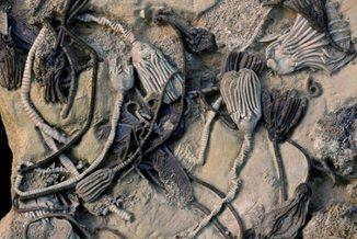 Diese 350 Millionen Jahre alten fossilen Crinoiden-Exemplare zeigen unterschiedliche Farben. (Photo by William Ausich, courtesy of Ohio State University)