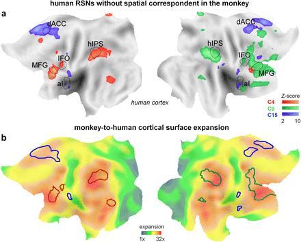 Abbildung A: Scan eines menschlichen Kortex. Die farbigen Gebiete stellen humanspezifische Hirnregionen dar. Abbildung B: Ein Bild aus einer vorherigen Arbeit, das veranschaulicht, wie der menschliche Kortex im Laufe der Evolution humanspezifische Hirnregionen entwickelt hat. Sie stimmen mit den von Prof. Vanduffel gefundenen Arealen überein. (KU Leuven)