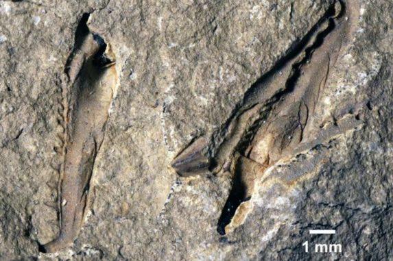 Holotypus der neuen Spezies Websteroprion armstrongi. (Image Credit: Luke Parry)