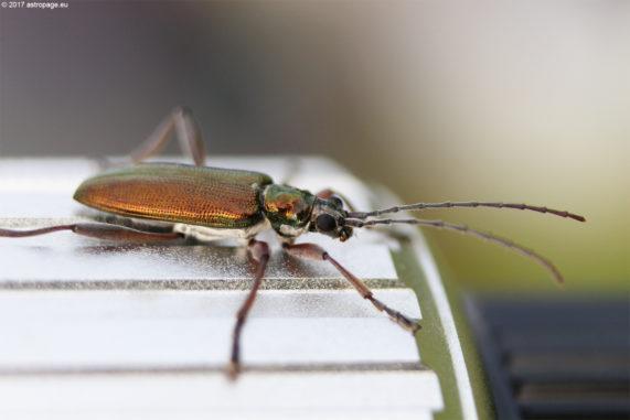 Tatkräftige Unterstützung: Ein Käfer auf dem Fokussierrad des Teleskops. (Credit: astropage.eu)
