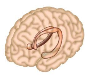 Schematische Darstellung des Hippocampus in einem menschlichen Gehirn. (Credit: Salk Institute)