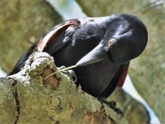 Eine Geradschnabelkrähe verwendet einen hakenförmigen Zweig, um an Beute zu gelangen. (Credits: James St Clair)