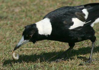 Ein Flötenvogel bei der Nahrungssuche. (Credits: Wikipedia / Toby Hudson / CC-BY-SA 3.0)