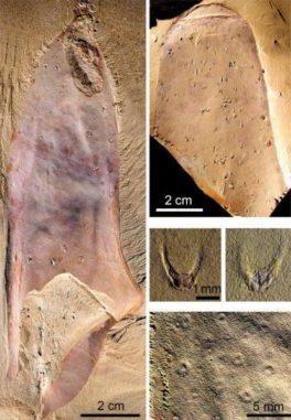 Fossilien des neu entdeckten Meereslebewesens aus dem Kambrium. (Credits: Derek Siveter / Tom Harvey / Pei-Yun Cong)