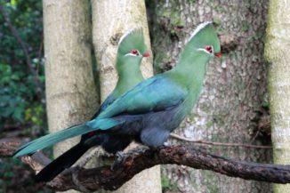 Ein Paar Knysna-Turakos (Tauraco corythaix). (Credits: Anton Frolich / Wikipedia / CC BY-SA 3.0)