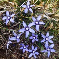 Viele alpine Pflanzen wie Comastoma Falcatum sind durch die Auswirkungen des Klimawandels bedroht. (Credits: Photo: Egle Kudirkiene, 2018)