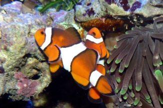 Ein Paar Echte Clownfische bei der Brutpflege. (Credits: Wikipedia / User Haplochromis / CC BY 3.0)