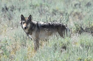 Ein Wolf im Lamar Valley des Yellowstone-Nationalpark. (Credits: Wikipedia / Mike Cline)