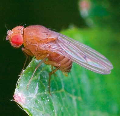 Eine weibliche Fruchtfliege der Spezies Drosophila simulans. (Credits: Wikipedia / Photo by Dr Andrew Weeks / CC BY-SA 3.0)