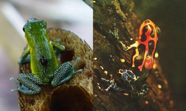 Zwei der untersuchten Tierarten: Das nicht-monogame Erdbeerfröschchen (Oophaga pumilio, links) und die monogam lebende Art Ranitomeya imitator (rechts). (Credit: Yusan Yan and James Tumulty)