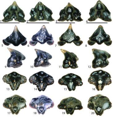 Verschiedene Zähne der neu entdeckten Süßwasserhaiart Galagadon nordquistae. (Credit: Terry Gates, NC State University)