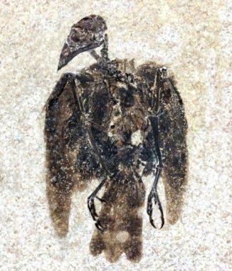 Das 52 Millionen Jahre alte Fossil von Eofringillirostrum boudreauxi, dem frühesten bekannten Sperlingsvogel mit einem Schnabel, der für das Fressen von Samen geeignet war. (Credit: Copyright Lance Grande, Field Museum)