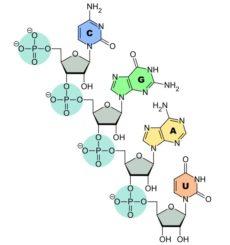 Verknüpfung der Nukleinbasen C, G, A und U zur RNA. (Credits: Wikipedia; User: Sponk; gemeinfrei)