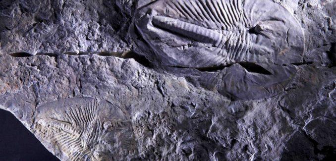 Ein versteinerter Arthropode der Gattung Phytophilaspis aus dem Kambrium. (Credit: Andrey Zhuravlev, Lomonosov Moscow State University)