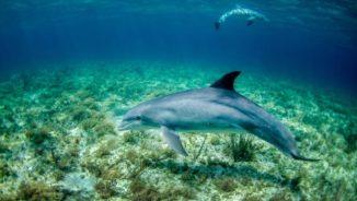 Delphine im Meer. (Credits: NOAA / Unsplash)