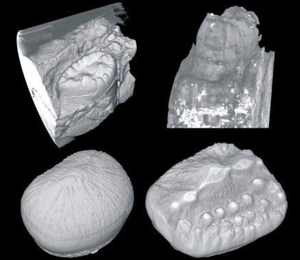 Beispiele für versteinerte Krokodilzähne. (Credits: University of Missouri)