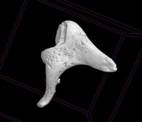 3D Scan von Gehörknöchelchen. (Credit: Kevin Mackenzie, University of Aberdeen)