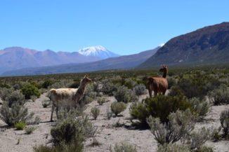 Lamas auf dem Hochplateau in den zentralen Anden. Unter der Oberfläche befindet sich ein riesiges Magma-Reservoir. (Credits: Photo: Osvaldo González-Maurel)