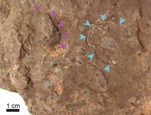 Zwei versteinerte Eier von Himeolithus murakamii. (Credits: Photo by University of Tsukuba and Museum of Nature and Human Activities,Hyogo)