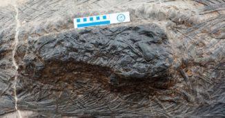 Nahaufnahme der Magenregion eines fossilen Ichthyosauriers, auf der Überreste eines anderen großen Meeresreptils zu sehen sind. (Credits: Da-Yong Jiang, et al.)