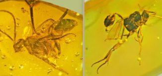 Parasitäre Wespen, eingeschlossen in Bernstein. (Credits: Oregon State University)