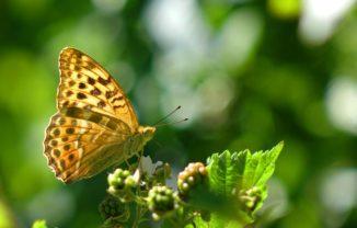 Ein Kaisermantel (Argynnis paphia). (Credits: Photo: Per Henningson)