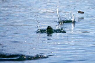 Ein hüpfender Stein auf dem Wasser. (Credits: Killy Ridols / CC-BY-SA 2.0)