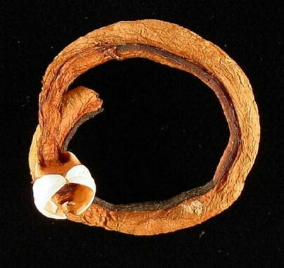 Schiffsbohrmuschel der Gattung Teredo. (Credits: USGS)