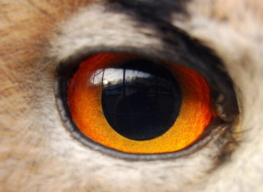 Das Auge ist ein Organ, das sich aus mehreren Ursprüngen heraus unabhängig entwickelt hat. (Credits: Wikipedia / User: Woodwalker / CC BY 3.0)