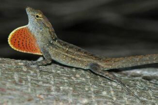 Ein Bahamaanolis. (Credits: Wikipedia / Ianaré Sévi / gemeinfrei)